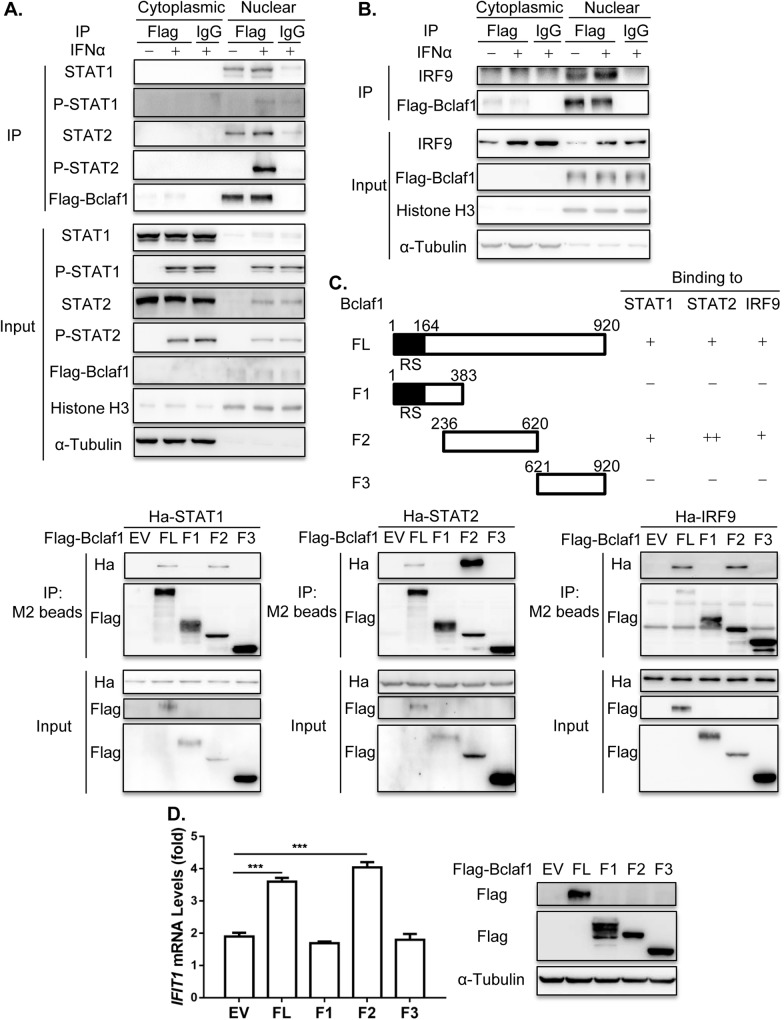 Bclaf1 interacts with STAT1/STAT2/IRF9. (A) IB analysis of STAT1, STAT2, P-STAT1, P-STAT2 and Flag-Bclaf1 in cytoplasmic or nuclear immunoprecipitates of a HEp-2-Flag-Bclaf1 cell line treated with PBS or human IFNα (500U/mL) for 2h. IgG was used for control immunoprecipitation. (B) IB analysis of IRF9 and Flag-Bclaf1 in cytoplasmic or nuclear immunoprecipitates of a HEp-2-Flag-Bclaf1 cell line treated with PBS or human IFNα (500U/mL) for 4h. (C) IB analysis of immunoprecipitates of HEK293T cells co-transfected with Flag-tagged Bclaf1 truncations and Ha-tagged STAT1/STAT2IRF9 expression plasmids. (D) qRT-PCR analysis of IFIT1 mRNA levels in HEp-2 cells transfected with Flag-tagged EV, full-length Bclaf1 or its truncations expression plasmids followed by PBS or human IFNα (500U/mL) treatment for 3h. IB analyzed the expression of Bclaf1. Data are shown as mean ± SD of three independent experiments. Statistical analysis was performed by the one-way ANOVA test. ***p