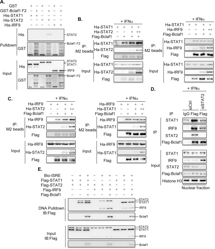 Bclaf1 interacts with ISGF3 mainly through STAT2. (A) GST pulldown analysis of the interaction between His-STAT1/STAT2/IRF9 and GST-Bclaf1 F2. (B) IB analysis of immunoprecipitates of HEK293T cells co-transfected with Flag-tagged Bclaf1, Ha-tagged STAT1 or STAT2/IRF9 expression plasmids. (C) IB analysis of immunoprecipitates of HEK293T cells co-transfected with Flag-tagged Bclaf1, Ha-tagged IRF9 or STAT2/STAT1 expression plasmids. (D) IB analysis of STAT1, STAT2, IRF9 and Flag-Bclaf1 in nuclear immunoprecipitates of a HEp-2-Flag-Bclaf1 cell line transfected with si-control or si-STAT2 followed by PBS or human IFNα (500U/mL) treatment for 3h. (E) IB analysis of Bio-ISRE pull-down STAT1, STAT2, IRF9 and Bclaf1.