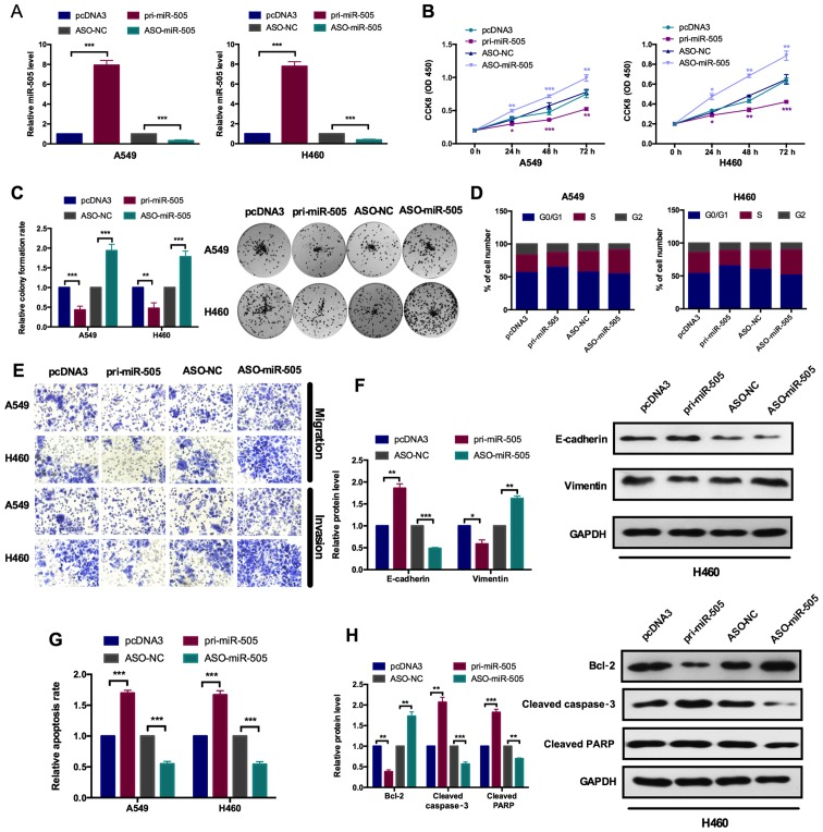 miR-505 inhibits cell proliferation and the epithelial-mesenchymal transition process. (A) A reverse transcription-quantitative polymerase chain reaction assay demonstrated the efficiency of miR-505 overexpression and knockdown plasmids in A549 and H460 cells. Cells were transfected with the pri-miR-505 vector or ASO-miR-505 vector and the control groups, respectively. *** P