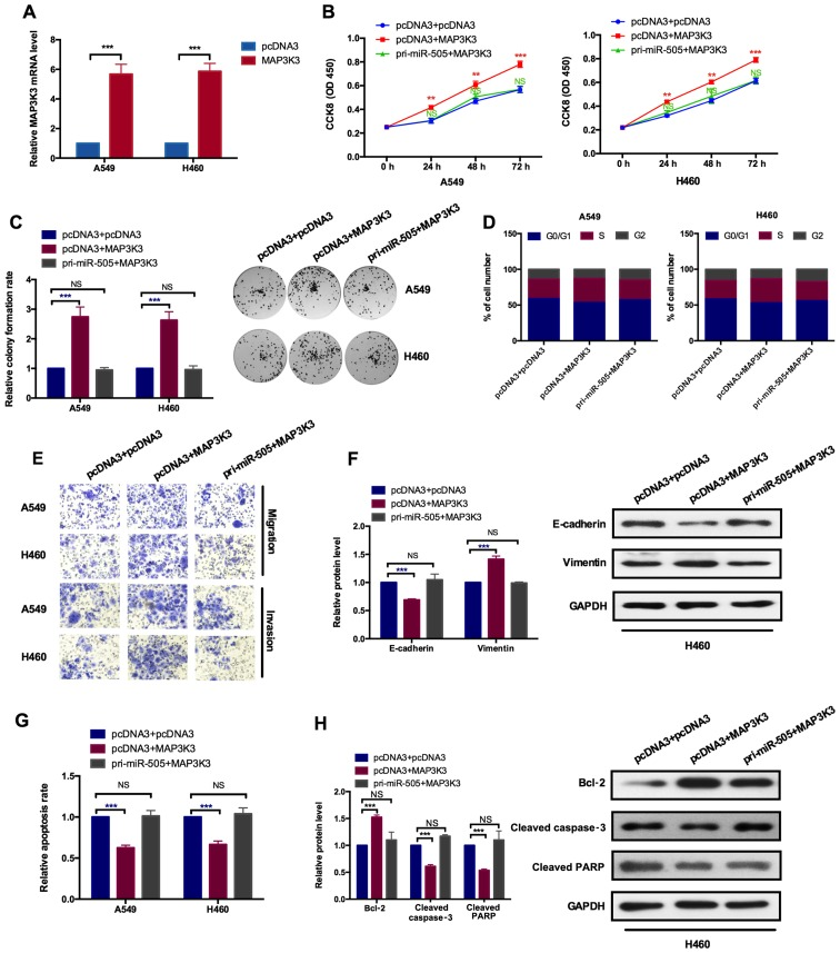 MAP3K3 promotes cell proliferation and the epithelial-mesenchymal transition process. (A) A reverse transcription-quantitative polymerase chain reaction assay demonstrated the efficiency of the overexpression plasmid of MAP3K3 in A549 and H460 cells. (B) The indicated transfection on A549 and H460 cellular viabilities was determined with a Cell Counting Kit-8 assay. A549 and H460 cells were transfected with the indicated combinations of pcDNA3 and MAP3K3 or pri-miR-505 and MAP3K3 or the control group. MAP3K3 overexpression promoted cell viability. NS vs. pri-miR-505 and MAP3K3; ** P