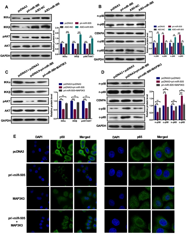 miR-505 inhibits the AKT-nuclear factor-κB pathway through MAP3K3. (A) A western blot assay demonstrated the protein expression levels of IKKa, IKKβ, pAKT, AKT with pri-miR-505 or ASO-miR-505 and the control group in A549 cells. miR-505 overexpression inhibited IKKa, IKKβ and pAKT expression but not the total AKT expression. ** P
