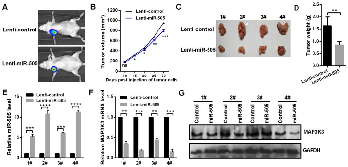 miR-505 inhibits tumor growth in vivo . (A) Compared with the lenti-control group, the tumorigenic ability of A549 cells was inhibited following trans-fection with lenti-miR-505. (B) The tumor growth rate was significantly decreased following treatment with lenti-miR-505. * P