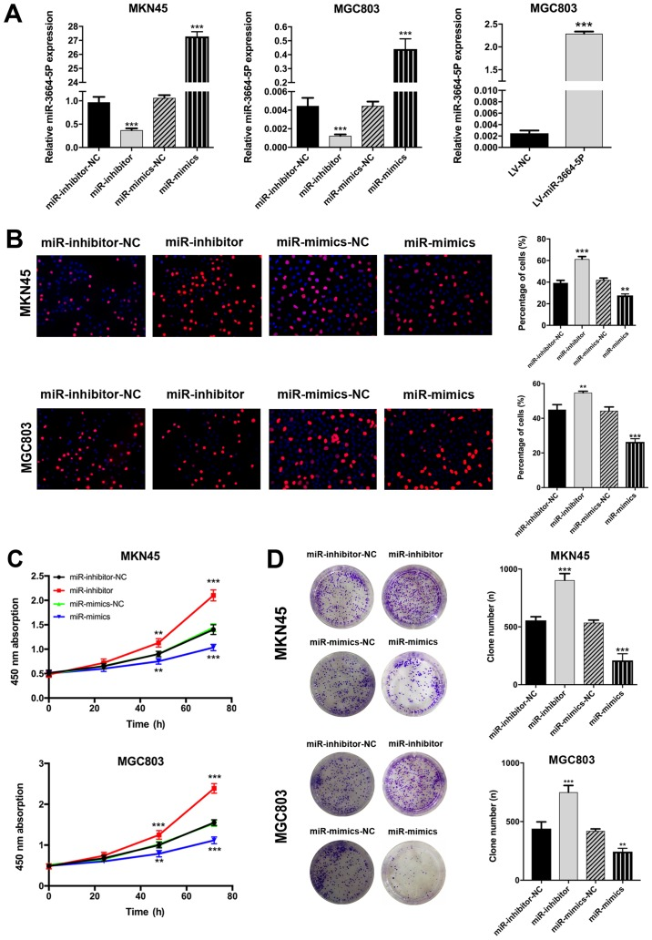 miR-3664-5P inhibits GC cell proliferation in vitro . (A) Following transfection with miR-3664-5P mimics or inhibitors, the expression of miR-3664-5P was significantly upregulated or downregulated, respectively, in the MKN45 and MGC803 cell lines. MGC803 was transfected with miR-3664-5P overexpres-sion lentivirus for in vivo assays. miR-3664-5P levels were determined by reverse transcription-quantitative polymerase chain reaction. (B) EdU, (C) Cell Counting Kit-8 and (D) plate colony assays were performed to detect the viability of GC cell lines (magnification, x200). miR-3664-5P upregulation inhibited and miR-3664-5P downregulation promoted the proliferation of GC cells. Data are presented as the mean ± standard error of the mean, from three independent experiments. ** P