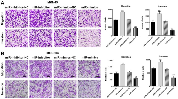 miR-3664-5P inhibits GC cell migration and invasion in vitro . Transwell assays were performed to evaluate the migration and invasion abilities of GC cells. (A and B) The inhibition of miR-3664-5P enhanced, while the overexpression of miR-3664-5P suppressed, the migration and invasion of (A) MKN45 and (B) MGC803 cells. Magnification, x200; scale bars, 200 µ m. Data are presented as the mean ± standard error of the mean, from three independent experiments. *** P