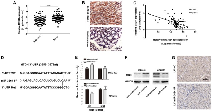 MTDH is the functional target of miR-3664-5P. (A) MTDH levels were significantly increased in GC tissues when compared with the control. *** P