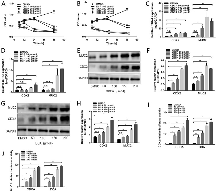 Effects of bile acids on CDX2 and MUC2 expression in GES-1 cells. (A and B) GES-1 cells were treated with DMSO or various doses of bile acids (100, 200, 400 and 600 µ mol/l) for different periods of time (6, 12, 24 and 48 h). Cell viability was then determined using a Cell Counting Kit 8 assay. (C and D) GES-1 cells were treated with DMSO or various concentrations of bile acids (50, 100, 150 and 200 µ mol/l) for 24 h. Reverse transcription-quantitative polymerase chain reaction was performed to determine the mRNA expression levels of CDX2 and MUC2 in GES-1 cells treated with bile acids. (E) Western blot analysis of CDX2 and MUC2 protein expression in each group of GES-1 cells stimulated with CDCA. (F) Comparison of CDX2 and MUC2 protein levels in each group of cells stimulated with CDCA. (G) Western blot analysis of CDX2 and MUC2 protein expression in each group of GES-1 cells stimulated with DCA. (H) Comparison of CDX2 and MUC2 protein levels in each group of cells stimulated with DCA. (I and J) GES-1 cells treated with various concentrations of bile acids were transfected with 2.5 kb CDX2- or 2.6 kb MUC2-luc promoter constructs. A dual-luciferase reporter assay was conducted to determine (I) CDX2 and (J) MUC2 promoter activity. Data are presented as the means ± standard deviation from three independent experiments. * P