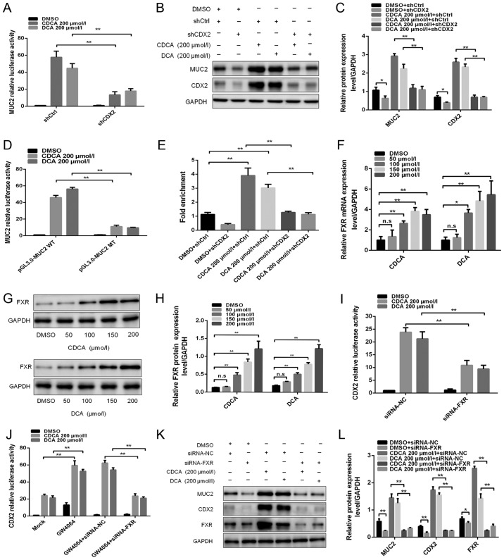 FXR is involved in the regulation of bile acid-induced CDX2 and MUC2 expression. (A) Dual-luciferase reporter assay was conducted to determine the effect of knockdown of CDX2 expression on bile acid-enhanced MUC2 promoter activity. (B) Western blotting was conducted to determine the effect of knockdown of CDX2 on bile acid-enhanced MUC2 expression. (C) Comparison of CDX2 and MUC2 protein levels in each group of GES-1 cells. (D) Mutagenesis of the MUC2 promoter was performed using a site-directed mutagenesis kit. A dual-luciferase reporter assay was conducted to detect the luciferase activities in GES-1 cells transfected with a MUC2 promoter reporter construct or mutated construct. (E) A quantitative chromatin immunopre-cipitation assay was performed to investigate the effect of bile acids on the binding of CDX2 to the MUC2 promoter. (F) Reverse transcription-quantitative polymerase chain reaction was conducted to detect the mRNA expression levels of FXR in cells treated with DMSO, or CDCA or DCA at various concentrations (0, 100, 150 and 200 µ mol/l) for 24 h. (G) Western blot analysis of FXR protein expression in each group of bile acid-treated GES-1 cells. (H) Comparison of FXR protein levels in each group of GES-1 cells stimulated with CDCA or DCA. (I) siRNA-FXR was transfected into cells with the CDX2-luc promoter construct. A dual-luciferase reporter assay was conducted to determine the effect of the downregulation of FXR on bile acid-enhanced CDX2 promoter activity. (J) Effects of treatment with the FXR agonist GW4064 on bile acid-enhanced CDX2 promoter activity. (K) Western blotting was performed to investigate the effect of FXR downregulation on bile acid-induced CDX2 and MUC2 expression. (L) Comparison of CDX2, MUC2 and FXR protein expression in each group of GES-1 cells. Data are presented as the means ± standard deviation from three independent experiments. * P