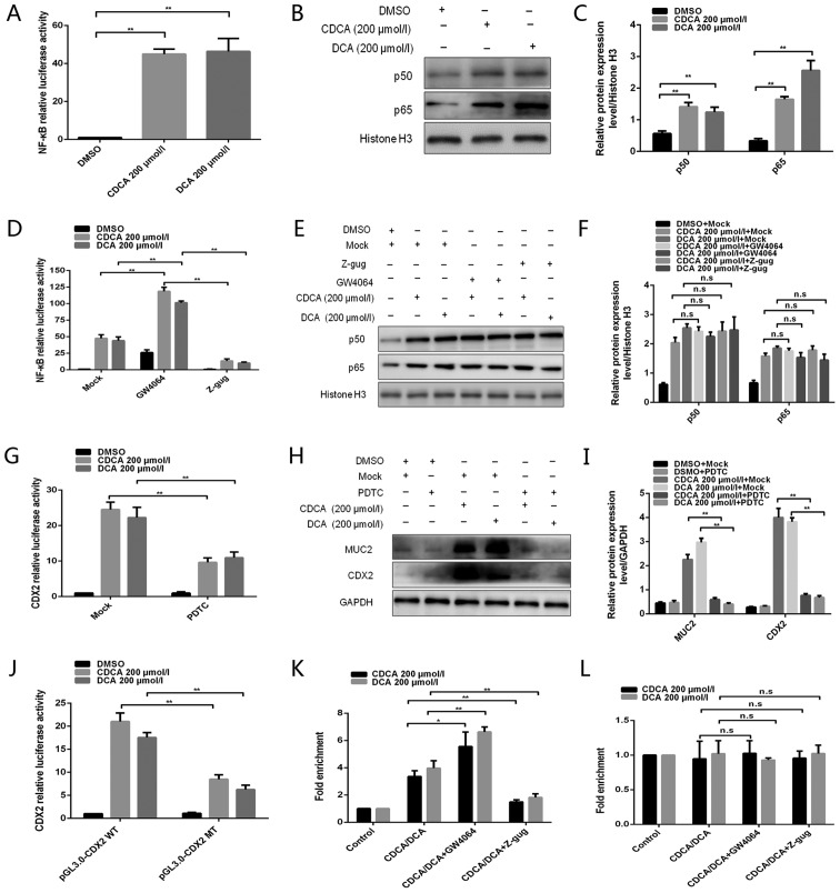 NF-κB is involved in the regulation of bile acid-induced FXR/CDX2/MUC2 signalling pathway activation. (A) Dual-luciferase reporter assay was conducted to determine the effect of bile acids on NF-κB activity. (B) Western blotting was conducted to detect the effects of bile acids on p50/p65 protein expression. (C) Comparison of p50/p65 protein levels in each group of GES-1 cells. (D) Dual-luciferase reporter assay was performed to detect the effect of the FXR agonist GW4064 or the antagonist Z-gug on bile acid-enhanced NF-κB activity. (E) Western blotting was conducted to determine the effect of the FXR agonist GW4064 or the antagonist Z-gug on bile acid-induced alterations in p50 and p65 protein levels. (F) Comparison of p50 and p65 protein levels in each group of GES-1 cells. (G) Dual-luciferase reporter assay was conducted to determine the effect of the NF-κB inhibitor PDTC on bile acid-enhanced CDX2 promoter activity. (H) Western blotting was performed to determine the effect of the NF-κB inhibitor PDTC on bile acid-induced alterations in CDX2 and MUC2 protein expression levels. (I) Comparison of CDX2 and MUC2 protein levels in each group of GES-1 cells. (J) Dual-luciferase reporter assay was conducted to detect the luciferase activities in GES-1 cells transfected with CDX2 promoter reporter construct or mutated construct. (K and L) Quantitative chromatin immunoprecipitation assay was performed to investigate the effect of the FXR agonist GW4064 or the antagonist Z-gug on the binding of NF-κB (K) p50 or (L) p65 protein to the CDX2 promoter. Data are presented as the means ± standard deviation from three independent experiments. * P