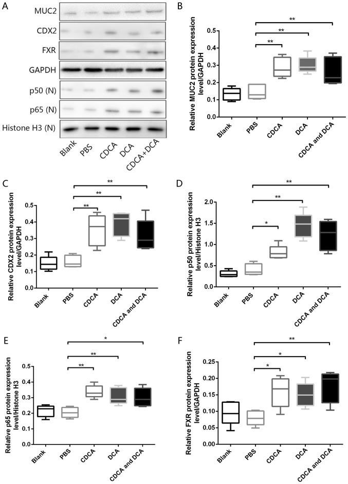 Bile acids induce molecular alterations linked to premalignant lesions in murine gastric mucosa in vivo . (A) Western blot analysis of MUC2, CDX2, p50, p65 and FXR protein expression in murine gastric mucosa samples from each group. Comparison of (B) MUC2, (C) CDX2, (D) p50, (E) p65 and (F) FXR protein expression levels in each group. * P