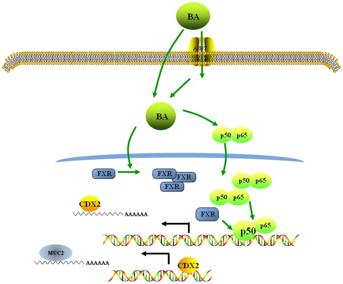 BAs promote gastric intestinal metaplasia by upregulating CDX2 and MUC2 expression via the FXR/nuclear factor-κB signalling pathway. BAs enter the cell by active transport or by diffusion and induce the upregulation and nuclear location of p50/p65 expression. Nuclear p50 binds to the CDX2 promoter and promotes CDX2 transactivation. The BA-induced increase in FXR expression enhances the binding of p50 to the CDX2 promoter. The CDX2 protein then binds to the MUC2 promoter and increases MUC2 transactivation. ASBT, apical sodium-dependent bile acid transporter; BA, bile acid; CDX2, caudal-related homeobox transcription factor 2; FXR, farnesoid X receptor; MUC2, mucin 2.