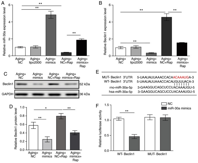 miR-30a directly downregulates Beclin1. (A) Relative expression levels of miR-30a and (B) Beclin1 were determined by reverse transcription-quantitative polymerase chain reaction in aging VSMCs transfected with miR-30a mimics or negative control for 48 h followed by 20 nM rapamycin for 12 h. (C) Representative blots and (D) quantification of Beclin1 protein expression levels in aging VSMCs transfected with miR-30a mimics or negative control for 48 h followed by 20 nM rapamycin for 12 h. (E) The predicted binding site of miR-30a on Beclin1 3′-UTR in both the rat and human genes. A mutant binding site was constructed and the red letters indicate mutated nucleotides. (F) Relative luciferase activity was evaluated. Results are presented as mean ± standard deviation (n=3). * P