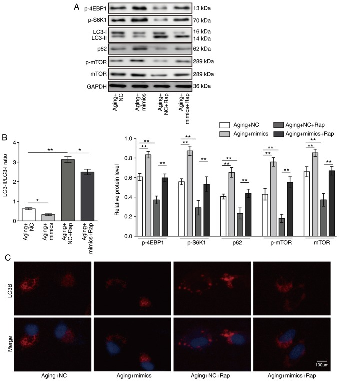 Rapamycin promotes autophagy in VSMCs by inhibiting miR-30a. VSMCs were transfected with miR-30a mimics or negative control for 48 h, and then treated with 20 nM rapamycin for 12 h. (A) Protein expression levels of LC3, Beclin1, p62, mTOR, p-mTOR, p-S6K1 and p-4EBP1 were determined by western blotting. Representative blots are shown. (B) Quantitative analysis of indicated proteins. (C) Immunofluorescence analysis for LC3B. Results are presented as mean ± standard deviation (n=3). * P