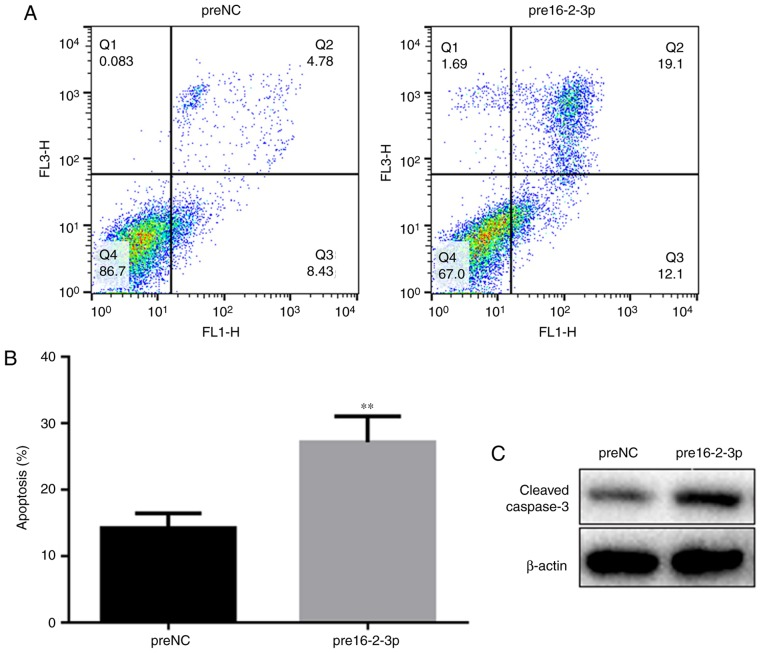 Effect of miR-16-2-3p on MPMC apoptosis. (A) Apoptosis in preNC and pre16-2-3p MPMC groups was assessed by flow cytometry analysis. (B) Quantification of the level of apoptosis in preNC and pre16-2-3p groups. (C) Western blot analysis of cleaved caspase-3 protein expression. Independent experiments were repeated at least 3 times, and the values are expressed as the mean ± standard deviation. ** P