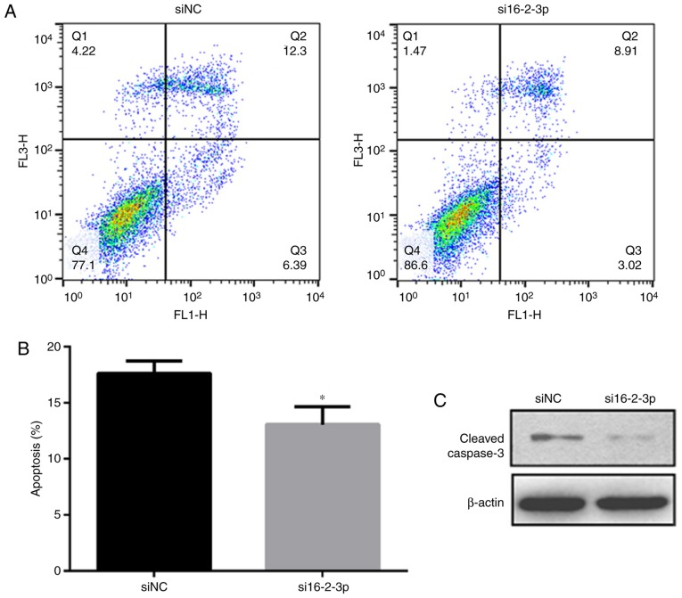 miR-16-2-3p inhibition decreases MPMC apoptosis. (A) Flow cytometry analysis was performed to measure cell apoptosis in siNC and si16-2-3-p MPMC groups. (B) Quantification of the flow cytometry data. (C) Western blot analysis of cleaved caspase-3 protein expression. Independent experiments were repeated at least 3 times, and the values are expressed as the mean ± standard deviation. * P