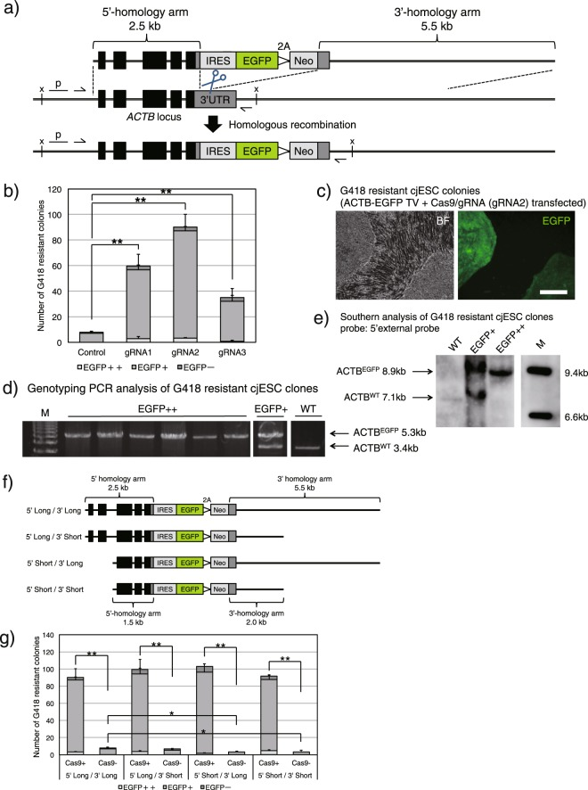 CRISPR-Cas9 enhances KI efficiency in cjESCs. ( a ) Schematic diagram of the ACTB-EGFP system. The ACTB-EGFP TV harboured IRES-EGFP-2A-Neo flanked by 2.5-kb and 5.5-kb homology arms to the surrounding regions of the 3′-UTR of the marmoset ACTB gene locus. The three gRNAs (ACTB-1, 2, 3, their recognition sites are shown as scissors) target the 3′-UTR region, which is not included in the TV. The TV is not detected by the gRNAs for the marmoset ACTB gene. Black thin arrows show the primer binding sites for genotyping PCR; x, a restriction enzyme site ( <t>XbaI</t> ); p, 5′-external probe for Southern blotting. ( b ) The number of G418-resistant colonies following G418 selection of 1 × 10 6 transfected ESCs, shown as the mean + s.e.m., n = 3. The number of colonies with strong EGFP fluorescence (EGFP++) is shown in dark grey; the number of colonies with moderate EGFP fluorescence (EGFP+) is shown in grey; the number of EGFP-negative colonies (EGFP−) is shown in bright grey. ( c ) A representative image of an EGFP++ (left) and EGFP+ (right) colony observed under bright field (BF) or under green fluorescence after G418 selection. Scale bar, 200 μm. ( d ) Genotyping PCR analysis of EGFP++ and EGFP+ cjESC clones. M, <t>DNA</t> marker. The separate images were cropped from the same gel. ( e ) Southern blotting analysis of EGFP++ and EGFP+ clones using the 5′-external probe. M, DNA marker. The separate images were cropped from the same gel. The entire image of the gel is shown in Supplementary Fig. S14a . ( f ) Schematic diagram of the shortened ACTB-EGFP TVs. ( g ) The number of G418-resistant colonies following selection of 1 × 10 6 transfected cjESCs, shown as the mean + s.e.m., n = 3. Each group is represented by the same colours as in ( b ). * P