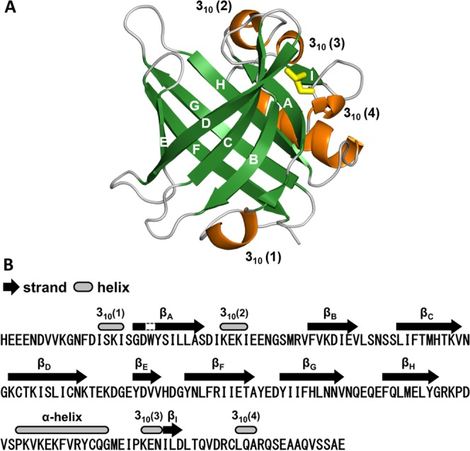 X-ray crystal structure of Can f 6 with characteristics typical of lipocalin-like proteins. ( A ) Tertiary structure of rCan f 6 (chain A) represented in a ribbon diagram. A β-barrel structure composed of 8 β-strands (indicated by A–H) is shown in green, while an α-helix and 3 10 -helix structures are indicated in orange. Yellow sticks represent an intramolecular disulfide bond. ( B ) Positions of typical secondary structures in rCan f 6 (chain A) are represented along with its amino acid sequence.