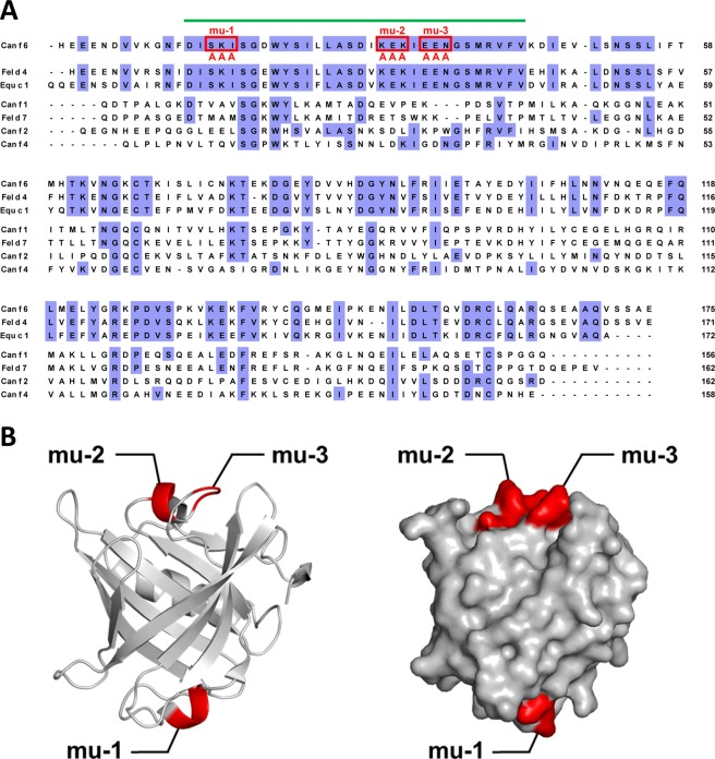 Introduction of mutations in predicted Can f 6 epitopes. ( A ) Highly conserved region among Can f 6, Fel d 4, and Equ c 1—but not among other representative lipocalin allergens (indicated by a green bar above the sequences)—was predicted to contain IgE epitope(s) involved in cross-reactivity. Three sites composed of three successive amino acids containing charged residues were substituted with triple alanine, and were designated as rCan f 6-mu-1, mu-2, and mu-3. ( B ) Schematic representation of the mutation sites (shown in red) in a ribbon diagram (left) and surface model (right) of rCan f 6.