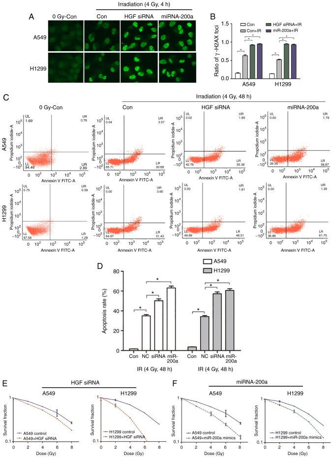 High miR-200a and low HGF expression promotes apoptosis, DNA double strand breaks, and inhibits the cloning rate of NSCLC cells following irradiation. (A and B) immunofluorescence detection of γ-H2AX foci in miR-200a transfected or siRNA HGF-transfected <t>A549</t> and H1299 cells treated with or without irradiation. Magnification, ×100. *P