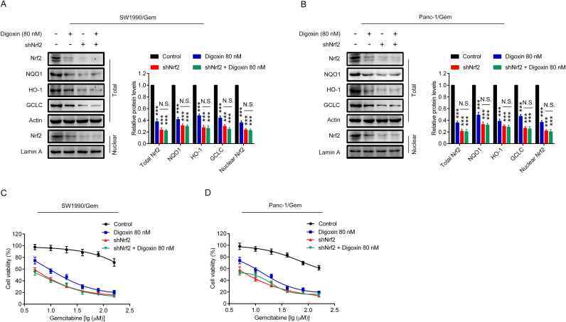 Digoxin increased the sensitivity of SW1990/Gem and Panc-1/Gem cells to gemcitabine by inhibiting Nrf2 signaling. (A–B) Effects of Nrf2 knockdown on protein levels of Nrf2, NQO1, HO-1, and GCLC in SW1990/Gem and Panc-1/Gem cells. (C–D) Effects of Nrf2 knockdown on reversing drug resistance of gemcitabine in SW1990/Gem and Panc-1/Gem cells. Data were expressed as mean ± SD, and the results were representative of three independent experiments. Significant differences were indicated as ***P