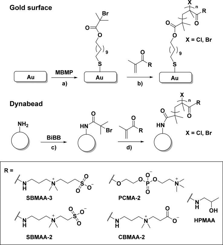 Schematic Overview of Stepwise Polymer Brush Formation from Gold Surfaces and Dynabeads Notes: (a) MBMP, <t>EtOH,</t> 24 h, rt; (b and d) for SBMAA-3, SBMAA-2, CBMAA-2, and PCMA-2: Cu(I)/Cu(II) (90/10), 2,2′-bipyridyl, isopropanol/water (20/80), 12 min, rt, for HPMAA: Cu(I)/Cu(II) (90/10), Me 4 Cyclam, EtOH, 2.5 h, 30 °C; (c) α-bromoisobutyryl bromide, DIPEA, <t>DCM,</t> overnight, rt.
