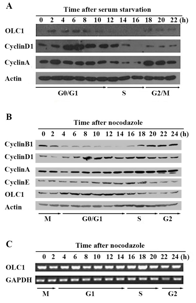Expression of OLC1 throughout the cell cycle. (A) Using serum starvation, <t>KYSE150/GFP</t> cells were synchronized at the G 0 phase. Following release, cells were collected every 2 for 24 h. The protein expression of OLC1, cyclin D1, cyclin A and actin was analyzed using western blot analysis. (B) Using 0.4 µg/ml nocodazole, KYSE150 /GFP cells were synchronized at the mitotic phase. Following release, cells were collected every 2 for 24 h. The protein expression of OLC1, cyclin B1, cyclin D1, cyclin A, cyclin E and actin was analyzed using western blot analysis. (C) Using reverse transcription polymerase chain reaction, the mRNA expression of OLC1 and GAPDH were detected. OLC1, overexpressed in lung cancer 1.