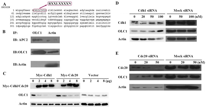 OLC1 protein is degraded by the APC/c. (A) Analysis of the OLC1 protein sequence indicated that it contains a destruction box at the site of amino acids 12–20, which may be recognized by APC/c. (B) To investigate whether OLC1 may bind directly to the components of the APC/c, KYSE150/GFP-OLC1 cells were collected, lysed and subjected to IP. The presence of actin, OLC1 and APC2 in the immunocomplex were verified. (C) Different concentrations (2, 4 and 8 µg) of Myc-Cdh1/Cdc20 expression or mock vectors were transiently transfected into H1299 cells for 48 h. Then OLC1, Myc-Cdh1 and Myc-Cdc20 protein expression were evaluated. Actin was included as a loading control. Different concentrations (20, 50 and 100 nM) of (D) Cdh1 or (E) Cdc20 or mock siRNA were transiently transfected into H1299 cells for 48 h. Then OLC1, Cdh1 and Cdc20 protein expressions were evaluated. Actin was included as a loading control. OLC1, overexpressed in lung cancer 1; APC/c, anaphase-promoting cyclosome complex; IP, immunoprecipitation; Cdh1, cadherin 1; Cdc20, cell-division cycle protein 20; siRNA, small interfering RNA.