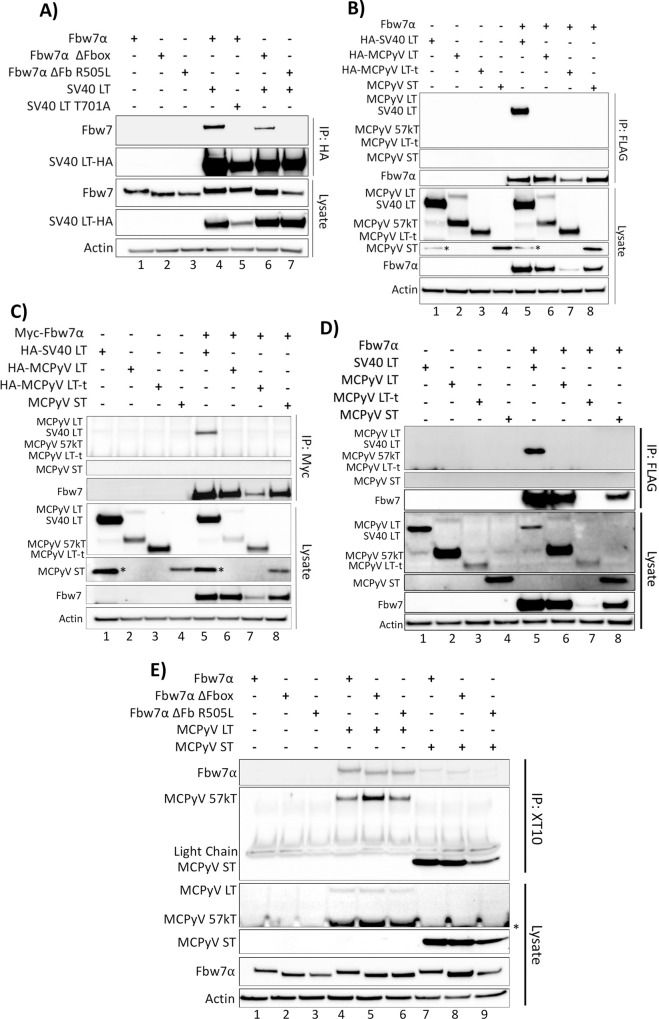 SV40 LT, but not the MCPyV T antigens, co-immunoprecipitate with Fbw7α. (A) The SV40 LT antigen was pulled down with an anti-HA antibody from whole cell lysates of 293A cells expressing individual or combinations of HA-SV40 LT or the T701A mutant (5μg), wild-type FLAG-Fbw7 (4.5μg), or FLAG-Fbw7 ΔFbox/R505L mutants (3μg). Detection of co-immunoprecipitated Fbw7 was performed by immunoprecipitating with anti-HA, followed by immunoblotting with anti-FLAG. (B) The reciprocal IP to Fig 1A was performed with HA-SV40 LT, the MCPyV T antigens (HA-LT (5μg), HA-LT-t (10.5μg), and untagged ST (1μg)) and Fbw7, in which Fbw7 was pulled down (FLAG) and immunoblotted for interacting T antigens (anti-HA/2T2 (common-T antibody)). (C) An identical co-immunoprecipitation as Fig 1B was performed, except Fbw7 with an N-terminal Myc tag was pulled down from cellular lysates using a Myc tag specific antibody (9E10). (D) An identical co-immunoprecipitation as Fig 1B was performed with untagged SV40 and MCPyV T antigens. SV40 and MCPyV T antigens were detected by XT10 immunoblotting. (E) A co-immunoprecipitation between MCPyV T antigens (LT and ST) and Fbw7 was also performed through pull-down of the T antigens (XT10—common-T antibody) and detection of co-immunoprecipitated Fbw7 (anti-FLAG). Asterisks (*) denote non-specific bands.
