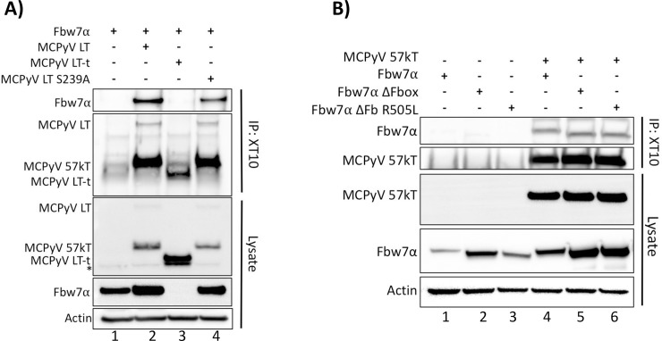 MCPyV LT and 57kT bind Fbw7α independently of its WD40 domain and MCPyV LT S239. (A, B) MCPyV LT was pulled-down with XT10 from whole cell lysates of 293A cells transfected with individual or combinations of full-length MCPyV LT S239A (5μg), MCPyV LT-t (10.5μg), MCPyV 57kT (5μg), Fbw7 (4.5μg), ΔFbox (3μg), or R505L (3μg), and immunoblotted with anti-FLAG to detect co-immunoprecipitated Fbw7. (B) A plasmid encoding only the sequence of MCPyV 57kT was similarly pulled-down and co-immunoprecipitated Fbw7 was detected. Asterisks (*) denote non-specific bands.