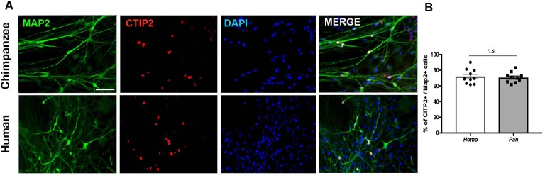 Immunocytochemistry of iPSC-derived neurons from humans and chimpanzees. ( A ) Representative images from neurons stained with pan neuronal marker (Map2) and cortical marker (CTIP2). Scale bar = 50 µm. ( B ) Quantification of the percentage of Map2-positive cells that express CITP2. No significant change was observed in the percentage of neurons expressing CTIP2 in vitro between human and chimpanzee cells.