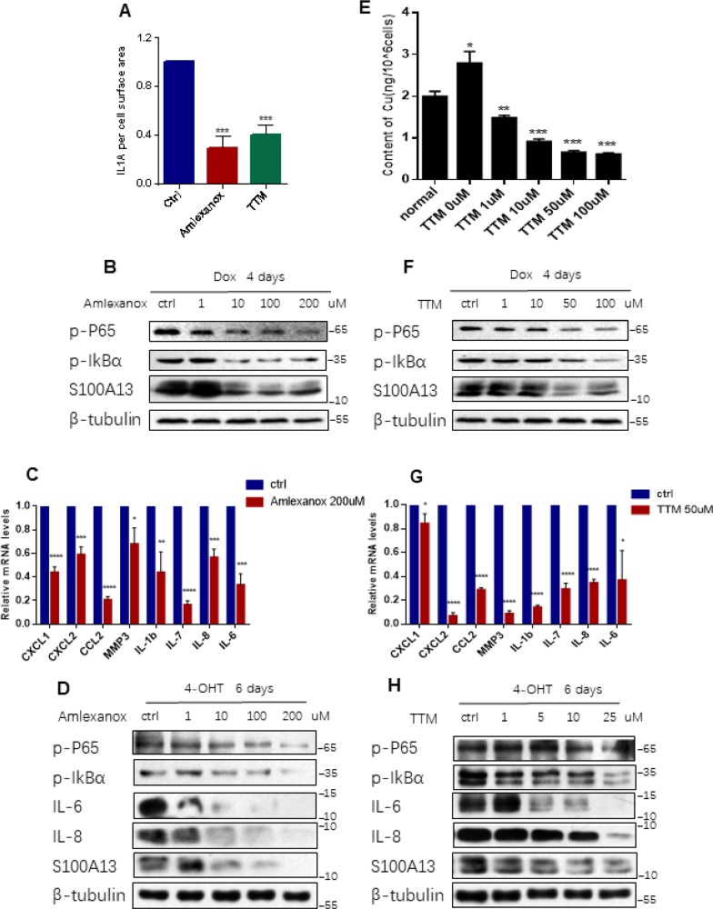 Inhibition the binding of IL-1α to S100A13 or to Cu 2+ suppresses IL-1α secretion, NF-κB activity, and SASP expression. ( A – C ) HCT116 cells were treated with Dox (100 nM) for 4 days in the presence of the indicated doses of Amlexanox or TTM. Then, ( A ) Cell surface-bound IL-1α were analyzed by FACS (n=3). ( B ) Cell lysates were subjected to western blot analysis for the indicated proteins. ( C ) mRNA levels of some SASP genes were analyzed by real-time qPCR (n=3). ( D ) ER:Ras IMR90 cells were given 4-OHT for toal 6 days in the presence of the indicated doses of Amlexanox; fresh medium with 4-OHT and Amlexanox was changed every other day. Cell lysates were then subjected to Western blot analysis for the indicated proteins. ( E–G ) HCT116 cells were treated without or with Dox (100 nM) and the indicated doses of TTM for 4 days. Then, cells were collected, washed with PBS for twice, and, ( E ) Analyzed the intracellular Cu 2+ concentration by ICP-MS (n=3). ( F ) Cell lysates were subjected to western blot analysis for the indicated proteins. ( G ) mRNA levels of some SASP genes were analyzed by real-time qPCR (n=3). ( H ) ER:Ras IMR90 cells were treated with TTM as in (D), then the indicated proteins were analyzed by Western blot. Three independent experiments were performed and analyzed. Error bars represent means ± SD (n = 3) *P