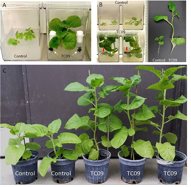 Growth promotion of tobacco by exposure to TC09. (A) Control tobacco plants without fungal exposure (left) and plants exposed to physically separated TC09 contained in filter-sealed microcentrifuge tubes (right). Arrows indicated the fungus with dark-colored mycelium. Photograph was taken 10 days after fungal exposure. (B) Tobacco plants exposed to TC09 contained in open-end tube closures. Images were taken 20 days after introduction of fungal cultures. Left and upper row: control plants without TC09 exposure in triplicates per vessel, Left and lower row: plants with exposure to fungal cultures in triplicates per vessel. Arrows indicate TC09 mycelium in closure. Right panel: representative plants of control (left) and TC09-exposed treatment (right). (C) Evaluation of plant growth in greenhouse following in vitro seedling treatment with or without TC09 exposure. Plants with (right three) or without (left two) exposure to TC09 for 20 days were transplanted to soil and maintained in greenhouse using standard management practices. Photograph was taken 70 days after seed sowing.