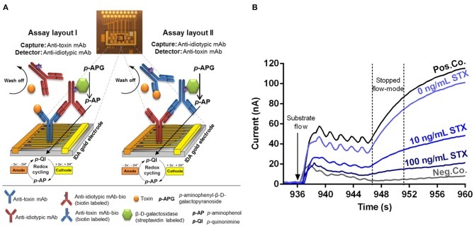 Illustrated principle of the competitive, anti-idiotypic antibody-based biochip assays with amperometric measurement. (A) The electrical biochip exhibits 16 IDA gold electrodes for immobilization of capture molecules. Utilization of anti-toxin mAbs and anti-idiotypic mAbs as capture or detector enabling two different assay layouts (I and II) based on a competitive format. During an automatic measurement the sample (toxin) plus the <t>biotinylated</t> detector antibody, the streptavidin labeled β-D-galactosidase and the substrate p -APG are sequentially applied to the biochip. Signal amplification of electrochemical detection is realized via redox cycling of p -AP between anodic and cathodic fingers of the electrode. (B) Amperometric response curves (current vs. time) were generated after substrate flow to the biochip followed by enzymatic conversion to the electrochemically active product and redox cycling in stopped-flow mode. Curves for 10 and 100 ng/ml STX were obtained and compiled from two independent biochips. Pos.Co. = Biotin labeled rabbit anti-mouse <t>IgG;</t> Neg.Co. = BSA.