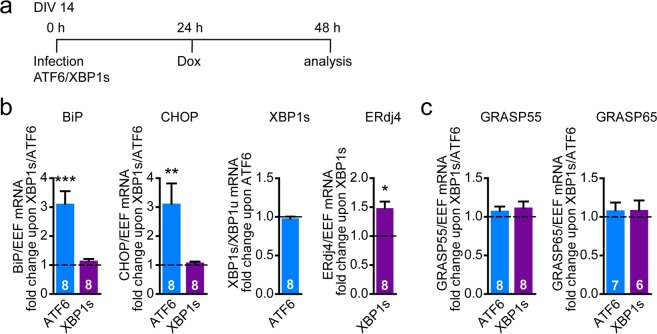 Active XBP1s is not sufficient to induce GRASP55 expression. ( a ) Timeline of experiment with overexpression of <t>Dox-inducible</t> active transcription factors ATF6 and XBP1s. ( b , c ) <t>Lentiviral</t> transduction was used to express active transcription factors XBP1s and ATF6 in primary cortical neurons. XBP1s and ATF6 should only be expressed upon Dox addition (TetON construct). Timeline as represented in ( a ). mRNA expression levels were analyzed by qPCR of UPR target genes ( b ), GRASP55 and GRASP65 ( c ) upon Dox addition (1 µg/ml). Data are shown as fold change difference over the expression of a control construct with a similar backbone (TetON) in the presence of Dox (baseline, set to 1). Significant differences of n independent experiments ( n is shown in bars) were tested via one-way ANOVA followed by post hoc Dunnett's multiple comparison test compared to baseline.