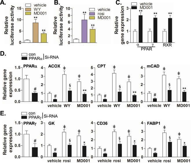 MD001 induces the expression of target genes through PPARα and PPARγ activation. HEK293 cells were transiently co-transfected with human HA-PPARα ( A ) and HA-PPARγ ( B ) expression vectors along with the reporter plasmid (PPRE-pk-Luc) or control reporter plasmid (pk-Luc) with Renilla vector for 24 h. Cells were treated with MD001 (10 μM), rosiglitazone (rosi) (10 μM) or WY14643 (WY) (10 μM) for 24 h. Luciferase activity was normalised to Renilla luciferase activity as described in the Methods section. **, vs. vehicle. ( C ) HepG2 cells were treated with MD001 (10 μM) for 24 h, and total RNA was isolated and synthesised into cDNA. Relative expression was quantitated using qRT-PCR. **, vs. vehicle. ( D , E ) HepG2 cells were transfected with control siRNA, PPARα siRNA ( D ), or PPARγ siRNA ( E ) for 48 h and treated with vehicle, WY14643 (10 μM), rosiglitazone (10 μM) or MD001 (10 μM) for 24 h. Subsequently, cells were harvested for total RNA isolation. Relative expression of target genes was quantitated using qRT-PCR. # , vs. control siRNA; ‡ , vs. control siRNA/vehicle; § , vs. control siRNA/WY; * and **, vs. control siRNA/MD001. Data represent the mean ± SD of three independent experiments. * P