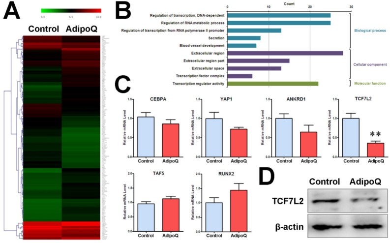 Adiponectin inhibited the expression of β-catenin-associated transcription factor <t>TCF7L2</t> in pancreatic cancer cells. A and B, The pooled RNA sample from the adiponectin-treated BxPC-3 cells or control cells was subjected to microarray analysis of the mRNA expression profile. A total of 180 genes were identified to be differentially expressed at the mRNA level in response to adiponectin treatment. A, Hierarchical clustering of the 180 differentially expressed genes. The colored images are presented as described; the green and red colors indicate low and high expression levels, respectively. B, GO annotation of differentially expressed genes in BxPC-3 cells induced by adiponectin treatment. The overrepresented GO terms ( P