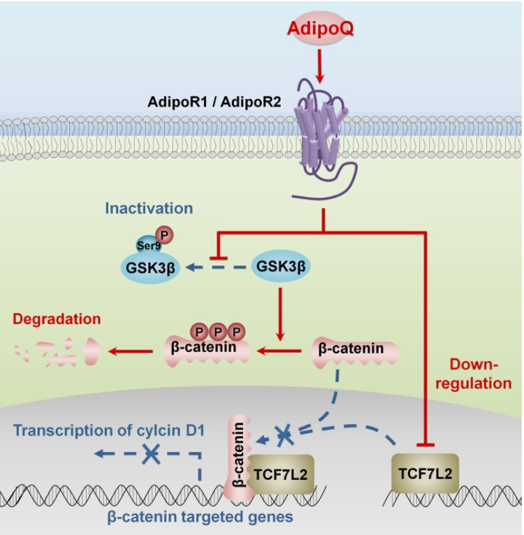 Proposed mechanisms of adiponectin-induced growth inhibition of pancreatic cancer. The binding of adiponectin to its receptors AdipoR1 and AdipoR2 on pancreatic cancer cells inhibits the phosphorylation of GSK-3β, which promotes the degradation of β-catenin via enhancing its phosphorylation. Moreover, the activation of adiponectin signaling suppresses the expression of β-catenin-associated transcription factor TCF7L2 in pancreatic cancer cells. Both of these effects lead to the transcriptional inhibition of β-catenin-targeted genes, such as cyclin D1.In consequence, the proliferation of pancreatic cancer cells is inhibited. AdipoQ, adiponectin.