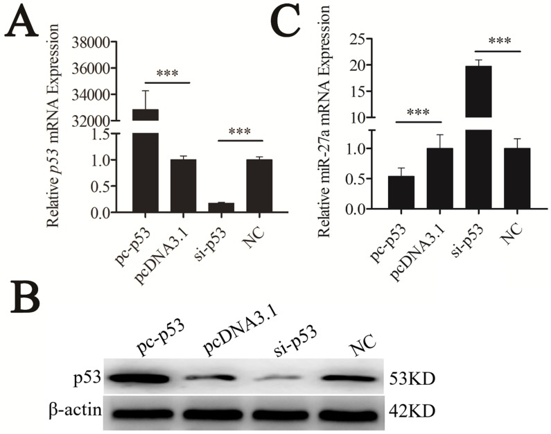 miR-27a was downregulated by p53 gene. CHO-K1 cells were transfected with pc-p53 , pcDNA3.1 and si-p53, NC. (A) qRT-PCR was used to detect endogenous p53 mRNA 24 h after transfection. (B) Western blot analysis was used to detect p53 protein expression levels 48 h after transfection. (C) Twenty-four hours after transfection, the expression levels of miR-27a were determined by qRT-PCR. The data are represented as mean±S.D. of three independent experiments. *** P