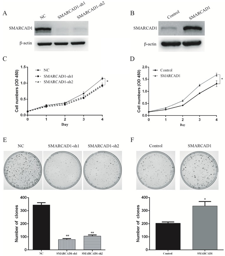 SMARCAD1 enhances proliferation of PANC-1 cells. A-B. The efficiency of SMARCAD1 knockdown (A) or overexpression (B) in PANC-1 cells was detected by western blotting. <t>β-actin</t> was used as an internal control. C-D. CCK8 assay was performed to determine the proliferation of PANC-1 cells with SMARCAD1 knockdown (C) or overexpression (D) at the indicated time points after plated. Cell viability was measured at 450nm. E-F. The effect of SMARCAD1 knockdown (E) or overexpression (F) on Colony-forming of PANC-1 cells was shown in the top panels. Number of foci was counted as shown in the bottom panels. All data were presented as mean ±SEM. *p