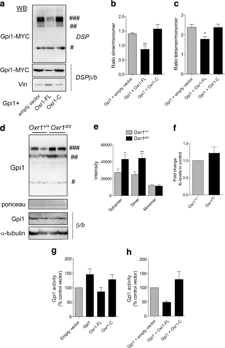 Oxr1 modulates Gpi1 oligomerisation. a Dimerisation of Gpi1 in cells co-transfected with Gpi1 and either an empty vector or full-length (Oxr1-FL) or short (Oxr1-C) Oxr1 isoforms. Cells were treated with a cross-linker (DSP) and proteins were extracted in PBS; the loading buffer did not contain any reducing β-mercaptoethanol and samples were not boiled (non-reducing conditions). As a control, protein extracts from cells treated with DSP were incubated with the reducing agent β-mercaptoethanol and boiled (DSPβ/b). Vinculin (Vin) levels were used to control for equivalent loading. b – c Quantification of the dimeric ( b ) or tetrameric ( c ) versus monomeric forms of Gpi1 ( N = 6 independent repeats). d – e Western blot and quantification showing Gpi1 oligomerization in cerebellum from Oxr1 d/d and Oxr1 +/+ mice from proteins extracted in PBS and non-reducing conditions. Ponceau staining was used to control for equal loading. As a control, protein extracts from the same preparations were incubated with the reducing agent β-mercaptoethanol and boiled (β/b). α-Tubulin levels were used to control for equivalent loading ( N = 8 animals per group). f mRNA expression levels of Gpi1 in the cerebellum of Oxr1 +/+ or Oxr1 d/d mice by qRT-PCR ( N = 4 animals per group). g Gpi1 activity in N2a cells transfected with the vectors indicated compared to an empty vector control ( N = 3–5 independent repeats). h Gpi1 activity in N2a cells co-transfected with Gpi1 and either Oxr1-FL or Oxr1-C ( N = 3 independent repeats). Panels b , c , g , h : one-way ANOVA; Panels e , f: t-test; * p