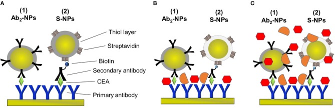 Schematic of the sandwich-assays using two types of functionalized NPs for the detection of CEA in the three different conditions studied in this paper. (A) Assay: Primary antibody immobilized on the sensor surface, incubated with EA in PBS BSA and either NP functionalized with the secondary antibody specific for CEA (Ab 2 -NPs) or secondary antibody and NPs functionalized with <t>streptavidin</t> (S-NPs) binding to the biotinylated Ab 2 B. (B) Assay: Analogous to (A) except for that the sensor is exposed to plasma after CEA capture. (C) Assay: Analogous to (A) except for that the functionalized NPs are contained in blood plasma.