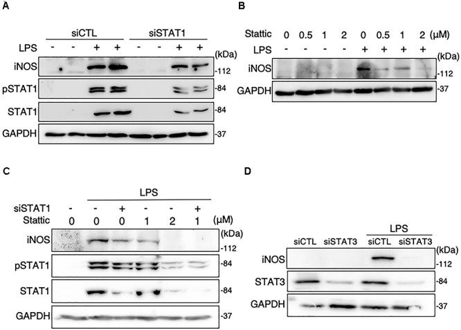 Effects of STAT1 siRNA transfection and stattic on protein expression levels of iNOS and total and phosphorylation levels of STAT1 in LPS-stimulated MG6 cells. (A) iNOS, phospho-STAT1 at Tyr-701, and total STAT1 before and 15 h after 100 ng/ml LPS application in the presence of or STAT1 siRNAs (siSTAT1) or the negative control siRNAs (siCTL). (B) Concentration-dependent effect of stattic (0.5–2 μM) on iNOS expression before and 15 h after 100 ng/ml LPS application. (C) Effects of siSTAT1 alone, stattic (2 μM) alone, and combination of siSTAT1 and stattic (1 μM) on iNOS, phosphorylated STAT1, and total STAT1 before and 15 h after 100 ng/ml LPS application. (D) Effect of STAT3 siRNAs (siSTAT3) on iNOS and STAT3 expression before and 15 h after 100 ng/ml LPS application. GAPDH served as loading control. Shown are representative Western blots from three independent experiments in which the same results were obtained.
