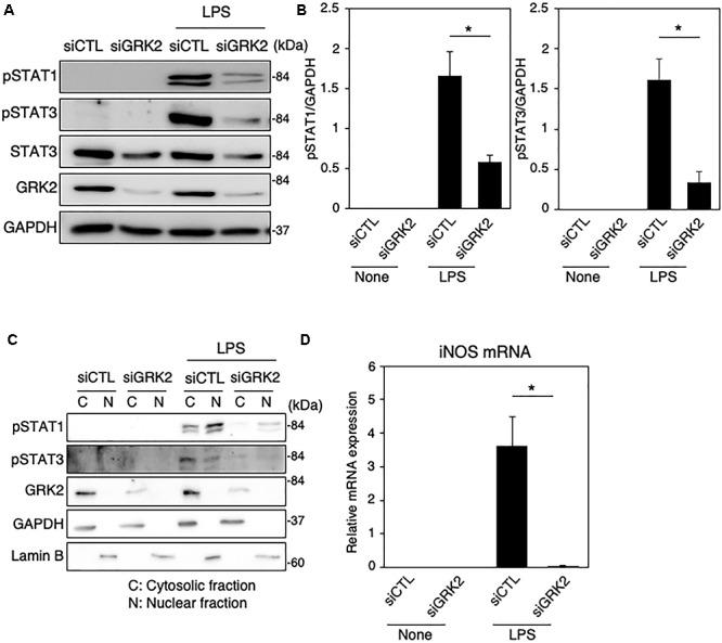 Effect of GRK2 siRNA transfection on total and phosphorylation levels of STAT1 and STAT3 in LPS-stimulated MG6 cells. (A) Typical Western blots of phospho-STAT1 at Tyr-701, phospho-STAT3 at Tyr-705, and total STAT3 before and 6 h after 100 ng/ml LPS application in the presence of GRK2 siRNAs (siGRK2) or the negative control siRNAs (siCTL). Transfection of siGRK2, but not of siCTL, effectively decreased GRK2 protein expression, and GAPDH was used as loading control. (B) Phosphorylated levels of STAT1 and STAT3 6 h after 100 ng/ml LPS application when siCTL or siGRK2 was transfected. (C) Cytoplasmic (C) and nuclear (N) fractions were isolated, and then phospho-STAT1 and phospho-STAT3 6 h after 100 ng/ml LPS were detected by Western blot analysis. GAPDH and lamin B served as a cytoplasmic and a nuclear marker, respectively. Shown are representative Western blots from three independent experiments in which the same results were obtained. (D) Effect of siGRK2 transfection on expression of iNOS mRNA 12 h after 100 ng/ml LPS application. The mRNA levels were expressed as a fold increase above control normalized GAPDH. The results represent the mean ± SEM for three independent experiments. ∗ P