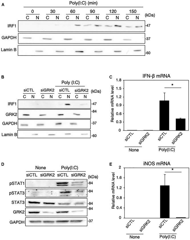 Effect of GRK2 siRNA transfection on TLR3-mediated signaling for iNOS expression in MG6 cells. (A) Cytoplasmic (C) and nuclear (N) fractions were isolated, and then the time course of changes in IRF1 levels in each fraction after 50 μg/ml poly(I:C) application was tracked by Western blot analysis. (B) Effect of transfection of GRK2 siRNAs (siGRK2) on nuclear translocation of IRF1 60 min after challenge with 50 μg/ml poly(I:C) was compared with that when the negative control siRNAs (siCTL) was transfected. GAPDH and lamin B served as a cytoplasmic and nuclear marker, respectively. (C) Effect of siGRK2 transfection on IFN-β mRNA expression levels 3 h after 50 μg/ml poly(I:C) application. (D) Effect of siGRK2 transfection on phospho-STAT1 at Tyr-701, phospho-STAT3 at Tyr-705, and total STAT-3 4 h after 50 μg/ml poly(I:C) application. GAPDH served as loading control. Shown are representative Western blots from three independent experiments in which the same results were obtained. (E) Effect of siGRK2 transfection on expression of iNOS mRNA 12 h after 50 μg/ml poly(I:C) application. The mRNA levels were expressed as a fold increase above control normalized GAPDH. The results represent the mean ± SEM for three independent experiments. ∗ P