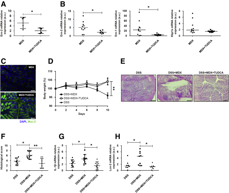 ER stress inhibition reduces MDX-mediated Ern-2 up-regulation and improves colitis in MDX-fed mice. ( A ) HT29-MTX cells were pretreated with TUDCA (10 μmol/L) or dimethyl sulfoxide (vehicle) and then stimulated with MDX for 1 hour. Ern-2 RNA transcripts were analyzed by real-time PCR. Data are means ± SD of 4 independent experiments. Differences between groups were compared using the 2-tailed Student t test (* P ≤ .05). ( B and C ) Wild-type mice were exposed to drinking water supplemented with 5% MDX for 45 days and injected or not with TUDCA (250 mg/kg intraperitoneally) every other day starting from day 21. Mice were killed on day 45, colonic tissues were isolated, and ( B ) Ern-2 , Ern-1 , and Xbp1s RNA transcripts and ( C ) Muc-2 protein expression were evaluated by real-time PCR and immunofluorescence, respectively. ( B ) Data were generated using 7–10 mice per group from 3 independent experiments. Each point in the graph indicates the RNA expression of the specific transcript in the colon of a single mouse; horizontal bars indicate median value. Differences between groups were compared using the Mann–Whitney U test (* P ≤ .05). ( C ) Pictures are representative of 4 separate experiments in which similar results were obtained. Scale bars : 25 μm. ( D ) Wild-type mice were exposed to drinking water supplemented with 5% MDX for 45 days and injected or not with TUDCA (250 mg/kg intraperitoneally) every other day starting from day 21. Mice were exposed to 1.75% DSS to induce colitis starting from day 35 until death (day 45), and body weight was recorded every other day. Data were generated using 8–9 mice per group from 3 independent experiments and expressed as means ± SEM. Differences among groups were compared using 1-way analysis of variance followed by the Bonferroni post hoc test (** P ≤ .01). ( E and F ) Representative H E staining of colon sections of mice treated as indicated in panel D and killed on day 45. ( F ) Scatter plot shows the histologic score. 