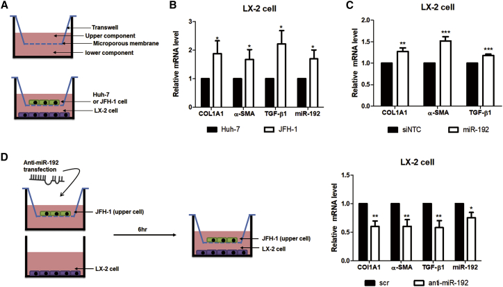 Effects of HCV Replication and HCV-Induced miR-192 on HSC Activation (A) Scheme of co-culture of LX-2 cells with naive Huh-7 or HCV (JFH-1) stable cells. (B) RNA levels of two activation markers (COL1A1 and α-SMA) and TGF-β1, as well as miR-192 levels, in co-cultured LX-2 cells are shown. (C) Effects of miR-192 on HSC activation are shown. LX-2 cells were transfected with miR-192 mimic RNA or negative-control miRNA (siNTC). RNA level of COL1A1, α-SMA, and TGF-β1 was quantified relative to those in siNTC-transfected LX-2 cells. (D) Effects of miR-192 depletion on HCV stable cells are shown. Experimental scheme is shown (left). JFH-1 stable cells were transfected with anti-miR-192 RNA or scramble siRNA (scr) and co-cultured with LX-2 cells starting 6 h after transfection. RNA levels of COL1A1, α-SMA, TGF-β1, and miR-192 in co-cultured LX-2 cells were quantified relative to those in cells co-cultured with scr-transfected JFH-1 stable cells (right). All data are the means of at least three independent experiments, each performed in triplicate. Error bars represent the SEM. p values were determined via a one-tailed unpaired Student's t test. * p