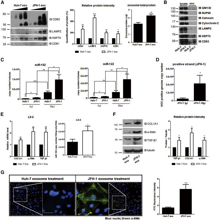 Effects of HCV Replication on Exosome Release, Exosomal RNA Level, and HSC Activation (A) Comparison of exosome release from naive Huh-7 (Huh-7 exo) and JFH-1 stable cells (JFH-1 exo). Immunoblot analysis of exosome marker proteins (CD63, LAMP2, HSP70, and CD81) in increasing volume of exosomes purified from each cell type is shown (left). The level of each exosome marker protein was quantified and presented as a percentage of that in Huh-7 exo (middle). Exosome total proteins were quantified using a bicinchoninic acid assay (BCA) (right). (B) Immunoblot analysis of total cell lysates (lysate) and isolated exosomes (exo) of naive Huh-7 or JFH-1 stable cells is shown. (C and D) Quantification of miRNAs and HCV RNA within exosomes from naive Huh-7 or JFH-1 cells is shown. After isolating exosomes, we re-suspended the exosomes in 100 μL PBS buffer and used 2 μL or 20 μL of the solution for the analysis of (C) the RNA levels of miR-192 (left: Huh-7 exo, 3.03 ± 2.69 × 10 5 copies per 2 μL and 3.09 ± 2.26 × 10 6 copies per 20 μL; JFH-1 exo, 7.20 ± 4.74 × 10 5 copies per 2 μL and 8.80 ± 7.89 × 10 6 copies per 20 μL), miR-122 (right: Huh-7 exo, 2.25 ± 1.80 × 10 5 copies per 2 μL and 1.60 ± 1.43 × 10 6 copies per 20 μL; JFH-1 exo, 4.43 ± 2.29 × 10 5 copies per 2 μL and 5.06 ± 4.90 × 10 6 copies per 20 μL), and (D) HCV RNA (JFH-1 exo, 2.42 ± 3.07 × 10 5 copies per 2 μL and 2.15 ± 2.79 × 10 6 copies per 20 μL). (E and F) Quantification of fibrotic marker RNAs and proteins in LX-2 cells treated with each type of exosomes is shown. (E) Relative intracellular mRNA levels of fibrosis markers (left) and copy numbers of miR-192 (right) in LX-2 cells treated with each type of exosomes are shown. Copy numbers of miR-192 were 3.30 ± 1.67 × 10 5 and 6.18 ± 2.78 × 10 5 per 100 ng of total RNA in Huh-7 exo-treated and JFH-1 exo-treated LX-2 cells, respectively. (F) Immunoblot analysis of the fibrosis markers COL1A1 and α-SMA, as well as TGF-β1, in LX-2 cells treated with each type of exos