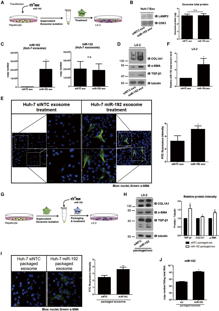 Effects of Exosomes from miR-192-Transfected Hepatocytes or Exosomes Packaged with miR-192 (A) Experimental scheme: negative-control miRNA (siNTC) or miR-192 mimic RNA was transfected into Huh-7 cells, and exosomes were purified from the transfected cells (siNTC and miR-192 exo, respectively) and used to treat LX-2 cells. (B) Comparisons of protein levels of the exosome markers LAMP2 and CD63 using western blotting (left) and exosome total protein levels using a BCA assay (right) within exosomes from each transfected cell type are shown. (C) Quantification of miR-192 (left: 3.98 ± 1.71 × 10 6 and 2.08 ± 2.09 × 10 8 copies per 20 μL of control siNTC exo and miR-192 exo, respectively) and miR-122 levels (right: 2.04 ± 1.48 × 10 6 and 1.88 ± 1.27 × 10 6 copies per 20 μL of siNTC exo and miR-192 exo, respectively) in exosomes from each transfected cell type is shown. (D) Immunoblot analysis of the fibrosis markers COL1A1 and α-SMA, as well as TGF-β1, in LX-2 cells treated with each exosome type is shown. (E) LX-2 cells were treated with each type of exosomes for 72 h, fixed, stained, and visualized via fluorescence microscopy. Representative images of α-SMA and DAPI staining in each cell type (left). Scale bars represent 50 μm. The intensity of α-SMA staining was quantified using more than five fields from at least three independent experiments (right). Data are also shown in Figure S8 A. (F) Intracellular miR-192 levels in LX-2 cells treated with each type of exosomes were quantified. (G) Experimental scheme: exosomes were first purified from naive Huh-7 cells and then packaged with siNTC or miR-192 (siNTC- and miR-192-packaged exosomes, respectively). (H) Immunoblot analysis of COL1A1, α-SMA, and TGF-β1 expression in LX-2 cells treated with each packaged exosome type is shown (left). Protein levels were quantified relative to those of tubulin (right). (I) LX-2 cells were treated with each packaged exosome type for 72 h, fixed, stained, and visualized using fluorescenc
