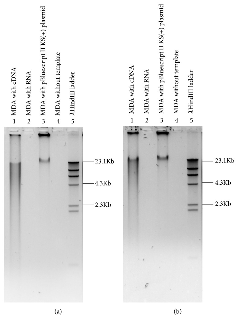 Amplification of cDNA by Phi29 DNA polymerase . Total RNA from N. benthamiana (a) and O. sativa (b) was treated with DNase and RNase R to enrich circRNAs. The enriched circRNAs were converted into cDNA using random hexamer and subjected to amplification by Phi29 DNA polymerase.