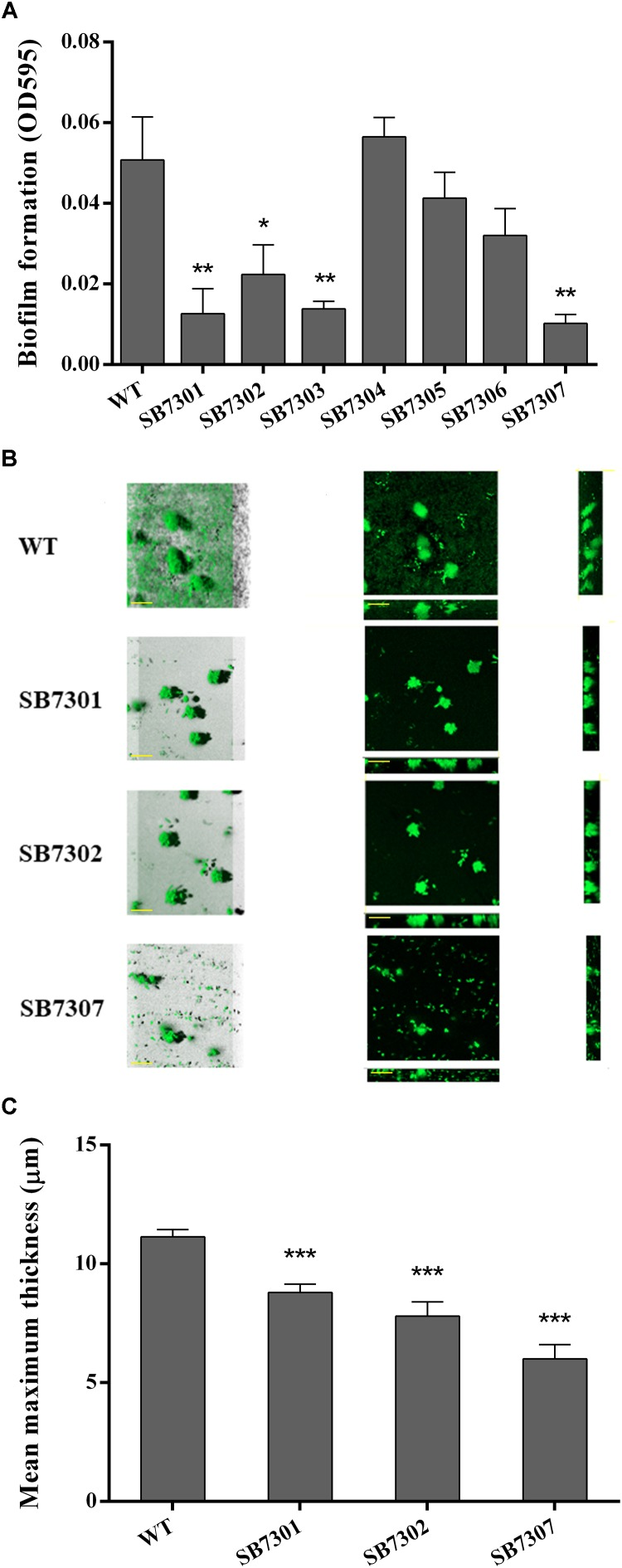 Biofilm formation activity of gene deletion mutants. (A) Biofilm formation of wild-type and each deletion mutant (SB7301, SB7302, SB7303, SB7304, SB7305, and SB7306) strains was quantified by microtiter plate assay. (B) Biofilm formation of wild-type, SB7301 and SB7302 mutant strains was analyzed by CLSM imaging in blend mode view (left panel) and section mode view (right panel). The scale bars represent 50 μm. (C) The mean maximum thickness of biofilms obtained from CLSM imaging. Data was presented as the mean ± standard deviation ( n = 3, ∗ p