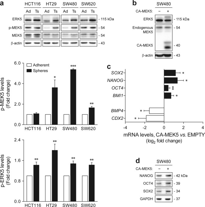 MEK5/ERK5 signaling activation is increased in colon cancer tumorspheres, and MEK5 constitutive activation correlates with a shift toward a stem-like state. a HCT116, HT29, SW480, and SW620 cells were cultured under sphere-forming or adherent conditions. MEK5 and ERK5 phosphorylation levels were evaluated by western blot. b – d SW480 adherent cultures were transfected with CA-MEK5 expression construct or empty vector. b MEK5 overexpression and ERK5 activation status were confirmed by immunoblotting. c mRNA levels of several stemness- and differentiation-associated markers were determined by qRT-PCR. d Steady-state protein levels of NANOG, OCT4, and SOX2 were evaluated by immunoblot analysis. Blots are representative of three independent experiments with similar results. Results are expressed as mean ± standard error of mean from at least three independent experiments. * p
